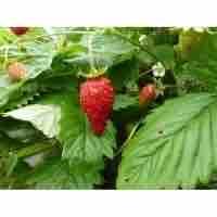 6 pack of Alpine Strawberry Plugs